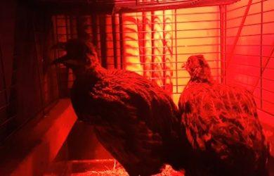 gaapworm fazant